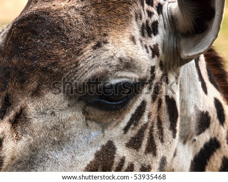 Giraffe, extreme closeup of one eye and side of head - stock photo