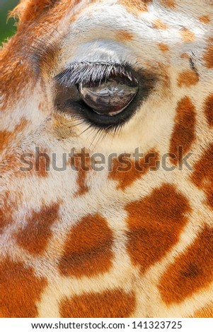Giraffe eye. Close up. - stock photo