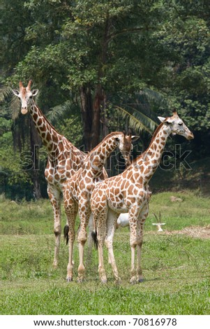 Giraffe family - stock photo