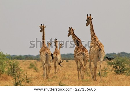 Giraffe Family Herd - African Wildlife Background - Poses, Posture and Funny Arrangements in Nature, soft focus - stock photo