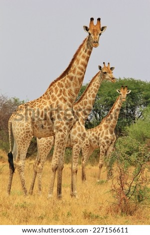Giraffe Family Herd - African Wildlife Background - Poses, Posture and Funny Arrangements in Nature.  From Big to Small, all are cute. soft focus - stock photo