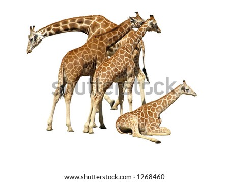 Giraffe Family on white backgroun
