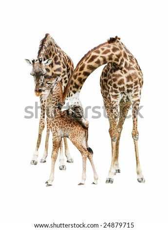 giraffe family on white background - stock photo