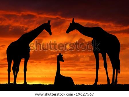 Giraffe family over sunrise - stock photo