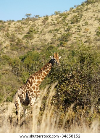 Giraffe feeding in grass.