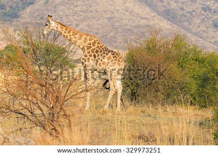 Giraffe feeding on acacia leaves just after sunrise in Pilanesberg Game Reserve, South Africa