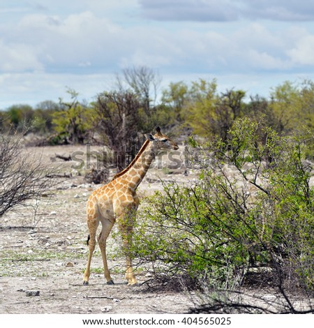 Giraffe foal in the Etosha national reserve, Namibia, Africa - stock photo