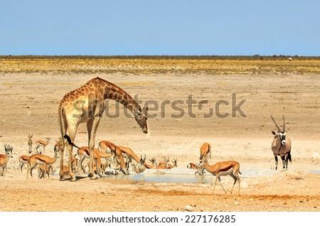 Giraffe, Gemsbok Oryx and springbok next to a waterhole in Etosha National park - stock photo