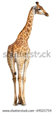 Giraffe (Giraffa cameleopardalis) against a white background. - stock photo