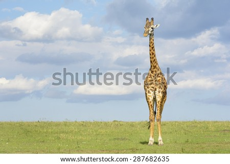 Giraffe (Giraffa camelopardalis) crossing savanna grasslands, with cloudy sky in background, Serengeti National Park, Tanzania. - stock photo