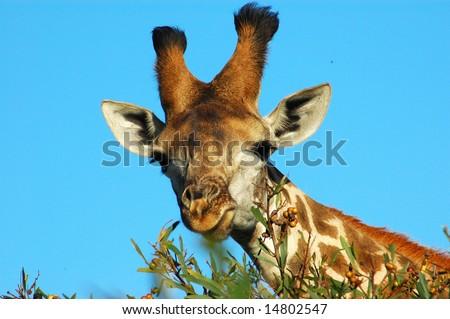 Giraffe (Giraffa camelopardalis) grazing in a game park in South Africa - stock photo