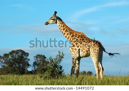 Giraffe (Giraffa camelopardalis) in a game park in South Africa - stock photo