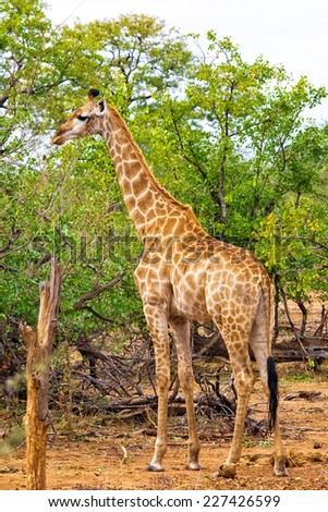 Giraffe (Giraffa camelopardalis) in Kruger National Park, South Africa - stock photo