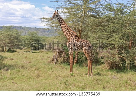 Giraffe (Giraffa camelopardalis) in profile stands  in savanna against acacia tree background. Serengeti National Park, Great Rift Valley, Tanzania, Africa.