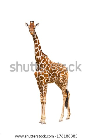 Giraffe (Giraffa camelopardalis), isolated on white background  - stock photo