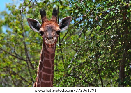 Giraffe (Giraffa camelopardalis) looking curious