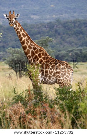 giraffe giraffa camelopardalis on the plain of entabeni game reserve welgevonden waterberg limpopo province south africa