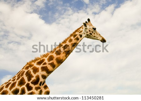 Giraffe (Giraffa camelopardalis) over blue sky with white clouds in wildlife sanctuary near Toronto, Canada - stock photo