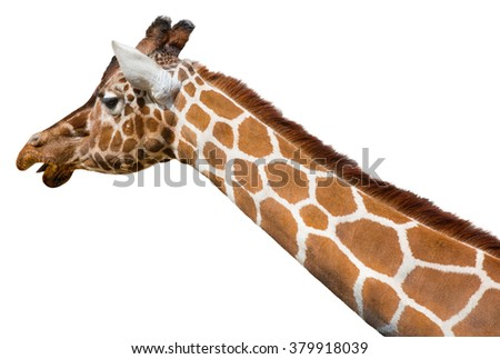 Giraffe (Giraffa camelopardalis reticulata) head and neck isolated on a white background - stock photo