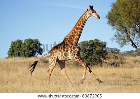 Giraffe (Giraffa camelopardalis) running on the African plains, South Africa - stock photo