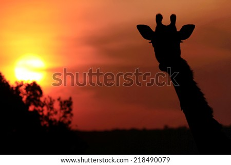 Giraffe (Giraffa camelopardalis) silhouette during sunset on the Maasai Mara National Reserve safari in southwestern Kenya. - stock photo