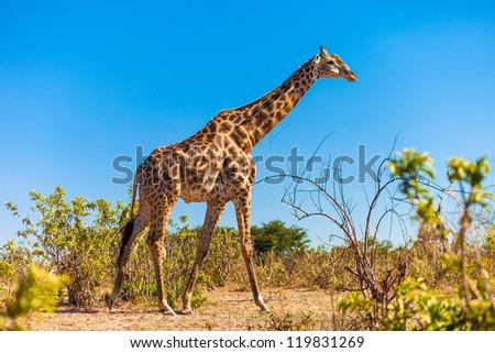 Giraffe (Giraffa camelopardalis) walking, Chobe National Park - stock photo