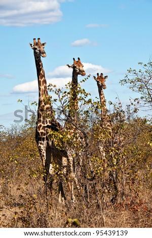 Giraffe, Giraffa camelopardalus - stock photo