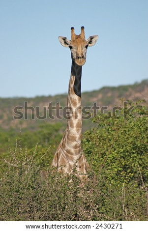 Giraffe – Giraffa camelopardis - stock photo
