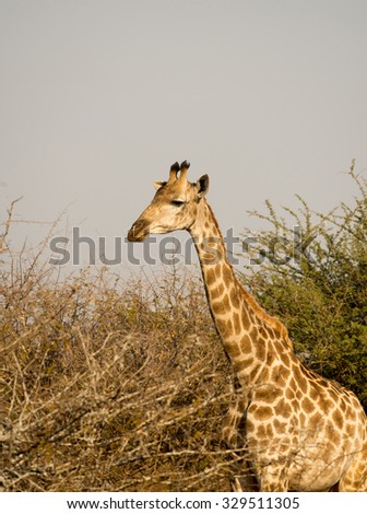 Giraffe grazing in southern Kruger National Park, South Africa