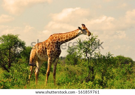 Giraffe Grazing in the Savannah on a Hot Summer Day - stock photo
