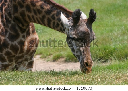 Giraffe grazing on grass