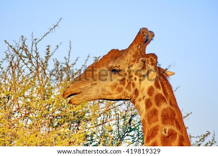 Giraffe grazing on the top of a thorn tree in Kruger National Park, South Africa - stock photo