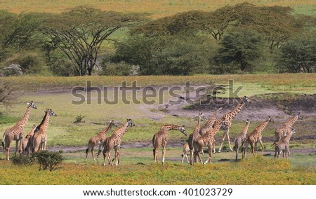 Giraffe group walking - stock photo