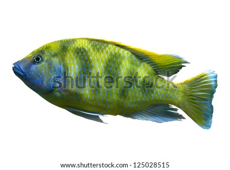 Giraffe Hap (Venustus Hap), bright yellow African fish from Malawi lake isolated on white - stock photo