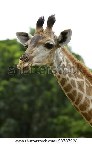 giraffe head - stock photo