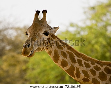 giraffe head - stock photo