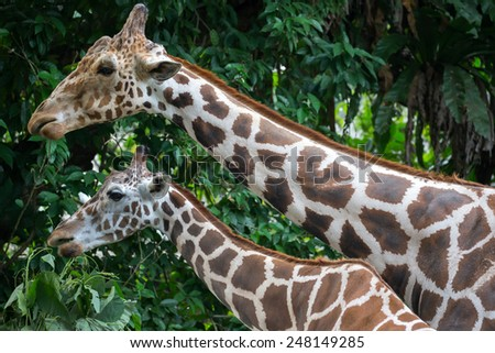 giraffe, head and neck close-up - stock photo