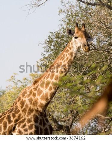 Giraffe - head and shoulders - stock photo