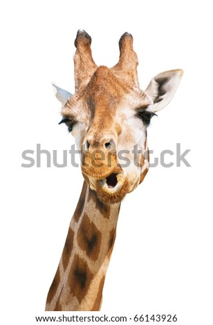 Giraffe head astounded look isolated on white background - stock photo