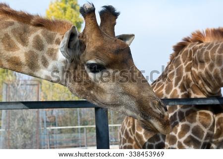 Giraffe head face at the zoo closeup - stock photo