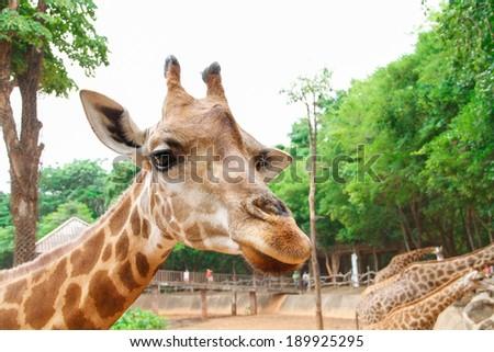 Giraffe Head in zoo - stock photo