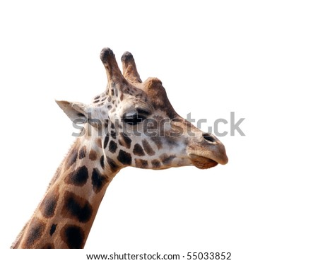 giraffe head isolated on white