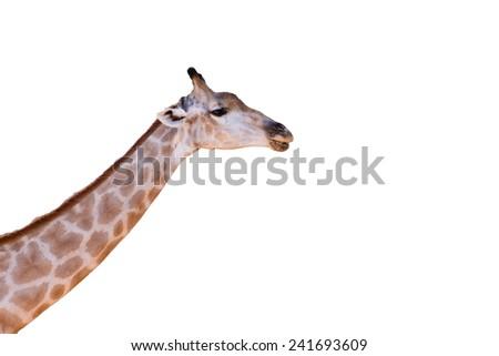 giraffe head neck isolated on white background - stock photo