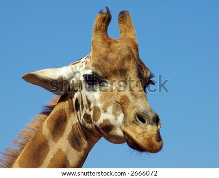 Giraffe Head shot.