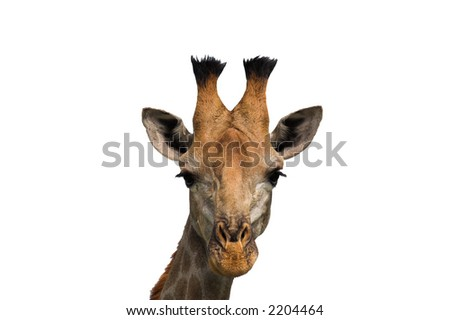 Giraffe head shot isolated on white - stock photo