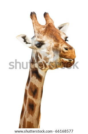 Giraffe head sly put out its tongue look isolated on white background