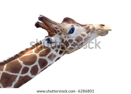 Giraffe head with dreamy expression. Isolated on white background. - stock photo