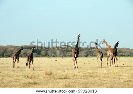 Giraffe in a national park
