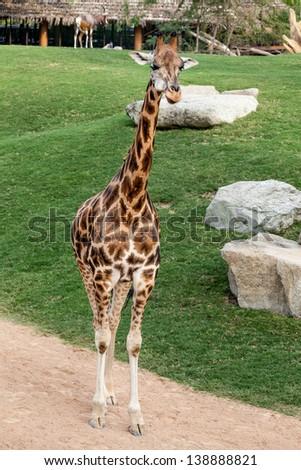 Giraffe in a park - stock photo