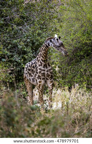 Giraffe in African Savana